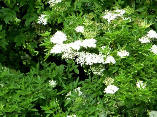 Elderflowers in bloom outside my parents house. Apologies for bad focus, I'm not used to photography in full sunshine!